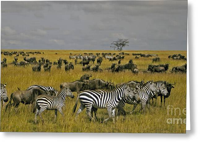 Zebras And Wildebeast   #0861 Greeting Card