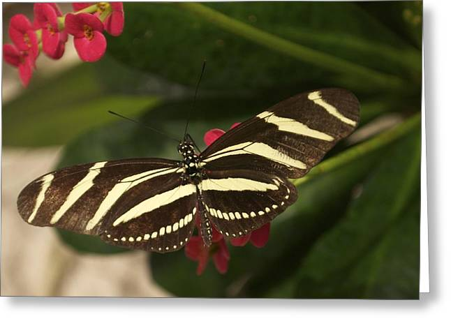 Greeting Card featuring the photograph Zebras Can Fly by Sandy Molinaro