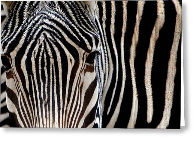 Greeting Card featuring the photograph Zebras Face To Face by Nadalyn Larsen