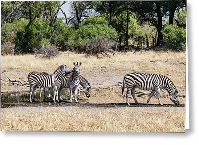 Zebras Grazing In A Forest, Chitabe Greeting Card by Panoramic Images