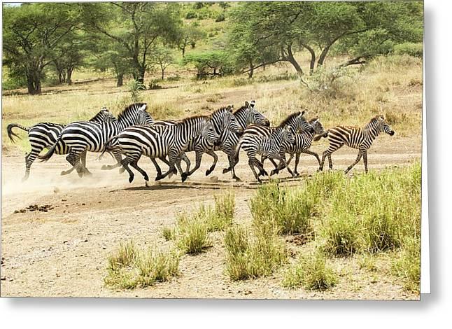 Zebras In Mud Greeting Card