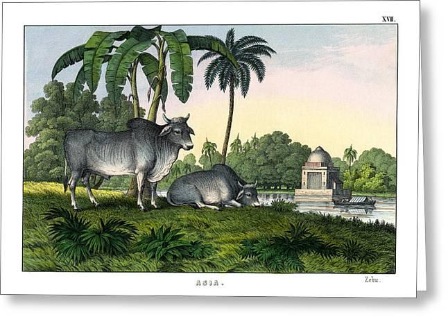 Zebu Greeting Card by Splendid Art Prints
