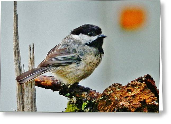 Greeting Card featuring the photograph Zen Chickadee by VLee Watson