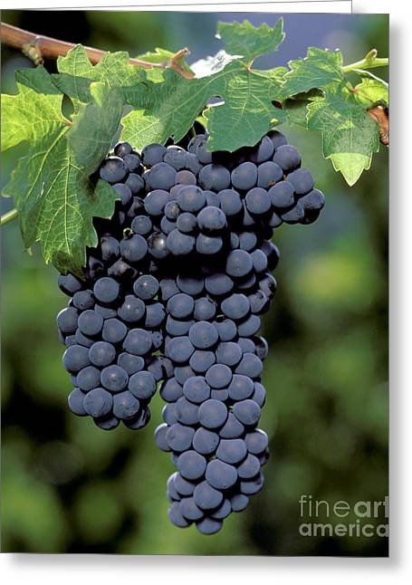 Zinfandel Wine Grapes Greeting Card by Craig Lovell