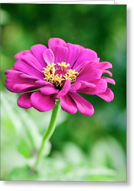 Zinnia Flower (zinnia Sp.) Greeting Card by Gustoimages/science Photo Library