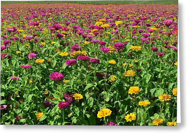 Zinnia Flowers En Masse Greeting Card by Sandi OReilly