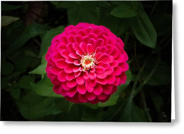 Zinnia In Bloom Greeting Card
