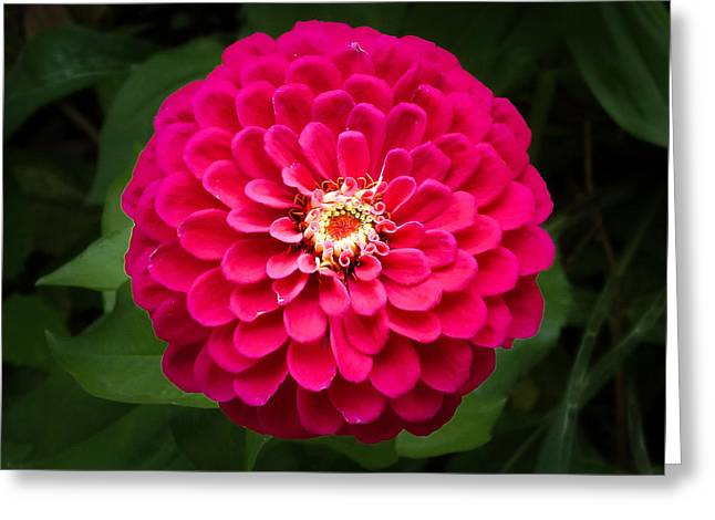 Zinnia In Bloom Square Greeting Card