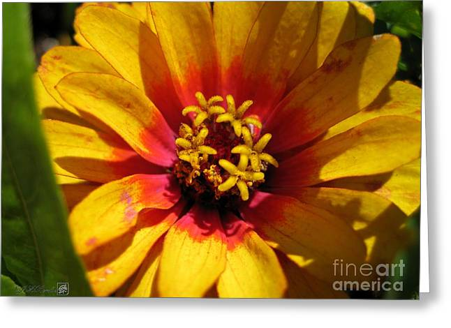 Zinnia Named Swizzle Scarlet And Yellow Greeting Card by J McCombie