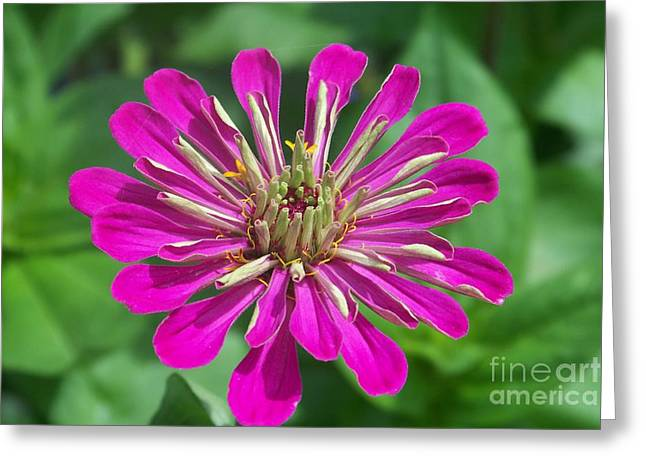 Greeting Card featuring the photograph Zinnia Opening by Eunice Miller