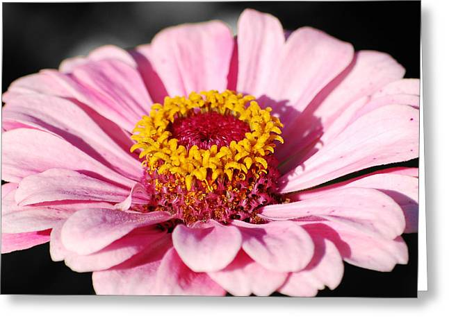Zinnia Pink Flower Floral Decor Macro Sqaure Format Color Splash Black And White Digital Art Greeting Card by Shawn O'Brien