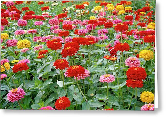 Zinnia Ruffles. Greeting Card by Anthony Cooper/science Photo Library