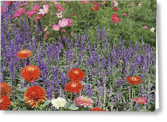 Zinnia Salvia And Cosmos Flowers Greeting Card by Panoramic Images
