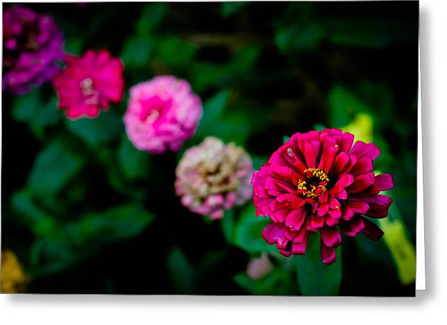 Zinnia Singapore Flower Greeting Card by Donald Chen