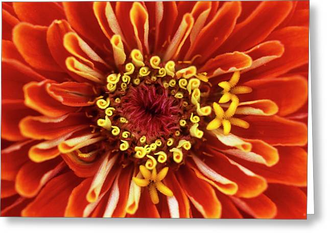 Zinnia (zinnia 'dreamland Coral') Greeting Card by Jane Sugarman/science Photo Library
