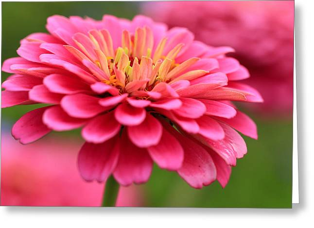 Zinnia's In Pink Greeting Card by Rachel Cohen