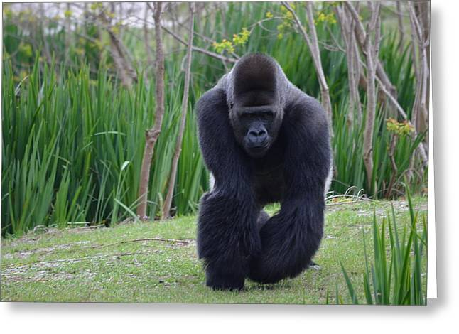Zootography Of Male Silverback Western Lowland Gorilla On The Prowl Greeting Card by Jeff at JSJ Photography