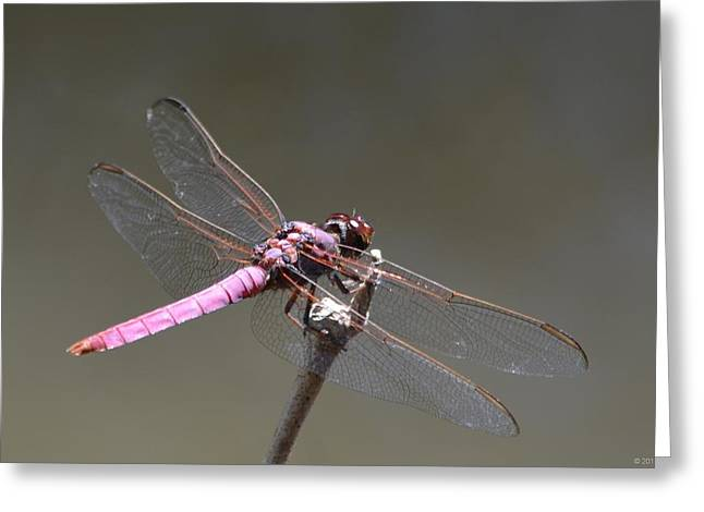 Zootography2 Pink Dragonfly Greeting Card by Jeff at JSJ Photography