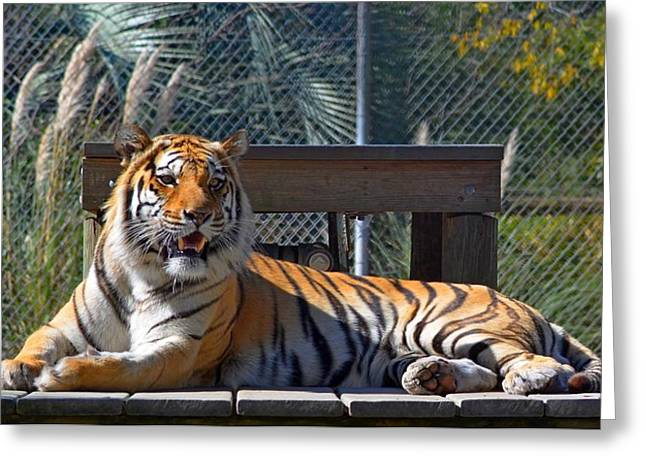 Zootography3 Tiger In The Sun Greeting Card by Jeff at JSJ Photography
