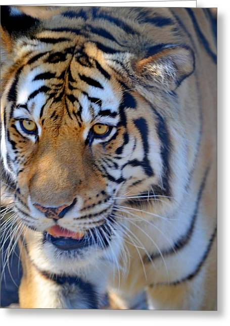Zootography3 Tiger Prowl Close-up Greeting Card by Jeff at JSJ Photography