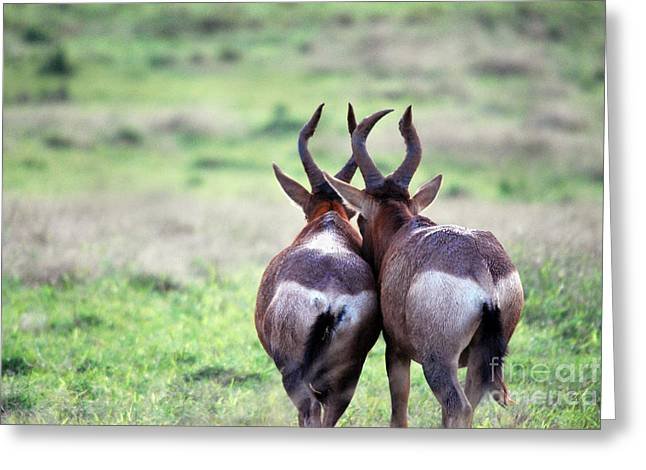 A Springbok Couple Greeting Card