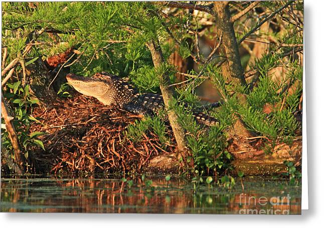 Greeting Card featuring the photograph  Alligator On Nest by Luana K Perez