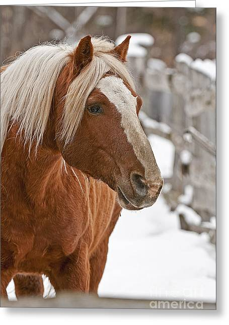 Belgian Horse Lord Greeting Card