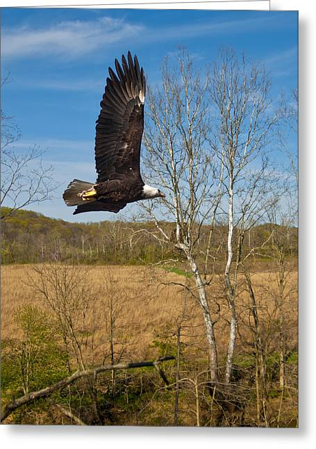Greeting Card featuring the photograph  Eagle Circleing Her Nest by Randall Branham