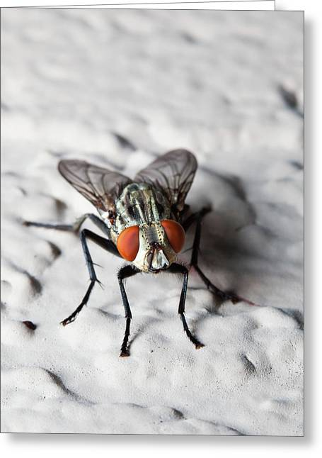 Fly On The Wall Greeting Card by Nick  Shirghio