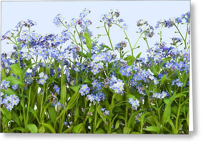 Forget-me-nots Plant  Greeting Card by Aleksandr Volkov