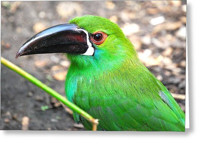 Toucan Print Greeting Cards -  Green with envy Greeting Card by Kathy Gibbons
