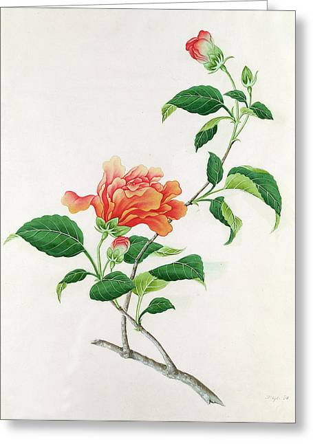 Hibiscus Greeting Card by Georg Dionysius Ehret