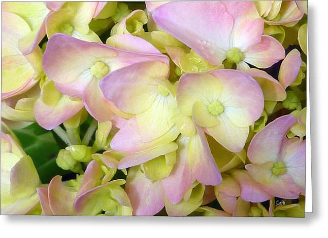 Hydrangeas   Greeting Card by Sami Martin