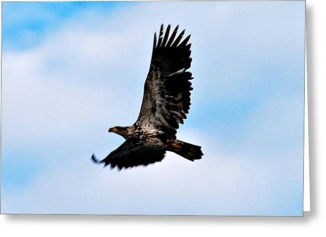 Greeting Card featuring the photograph  Juvenile Bald Eagle by Peggy Franz