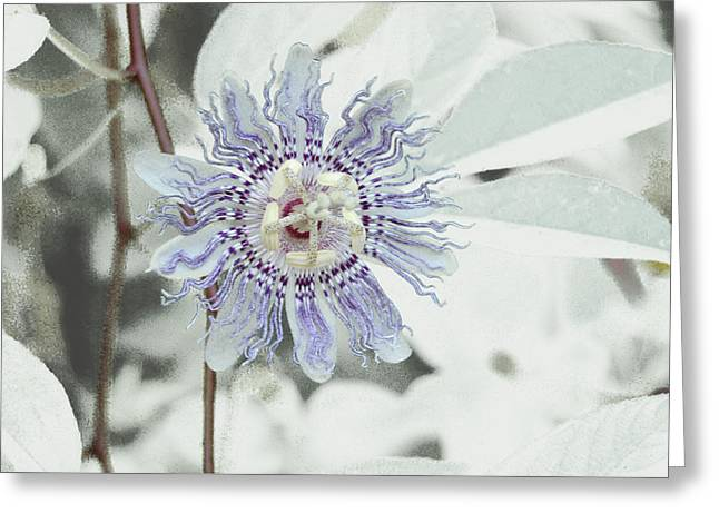 Passion Flower On White Greeting Card by Tom Wurl