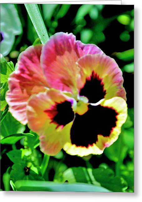 Greeting Card featuring the photograph  Pink And Yellow Pansy by Helen Haw