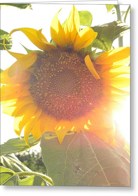 Greeting Card featuring the photograph  Sun Flower by Nada Meeks