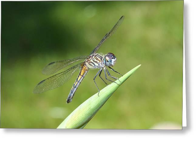 Sunbathing Dragonfly Greeting Card