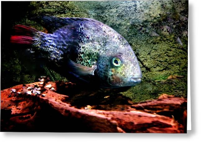 1 Fish Living In Denmark Greeting Card by Colette V Hera  Guggenheim