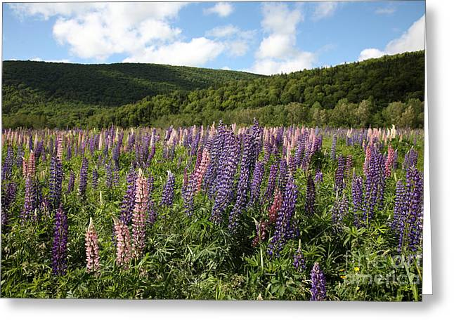 A Field Of Lupins Greeting Card