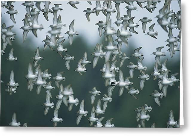 A Flock Of Western Sandpipers In Flight Greeting Card by Joel Sartore
