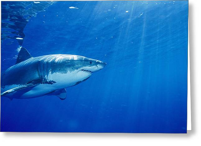 A Great White Shark, Carcharodon Greeting Card by Brian J. Skerry