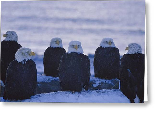 A Group Of Bald Eagles Haliaeetus Greeting Card by Norbert Rosing