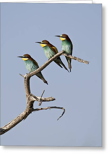 A Group Of Bee-eaters Resting On Branch Greeting Card by Roy Toft