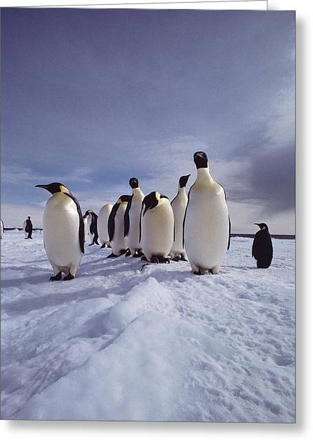 A Group Of Emperor Penguins Greeting Card by Bill Curtsinger