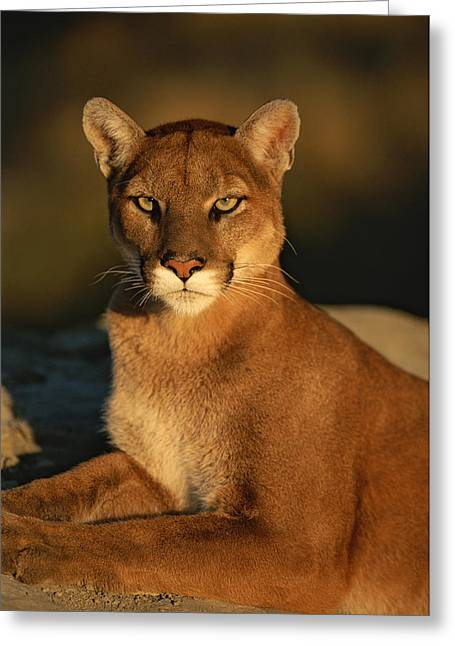 A Portrait Of A Mountain Lion Greeting Card by Norbert Rosing
