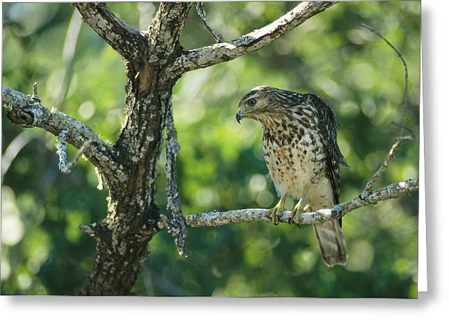 A Red Shouldered Hawk Perches In A Tree Greeting Card by Klaus Nigge