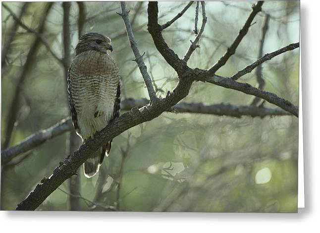 A Red Shouldered Hawk Perches On A Tree Greeting Card by Klaus Nigge
