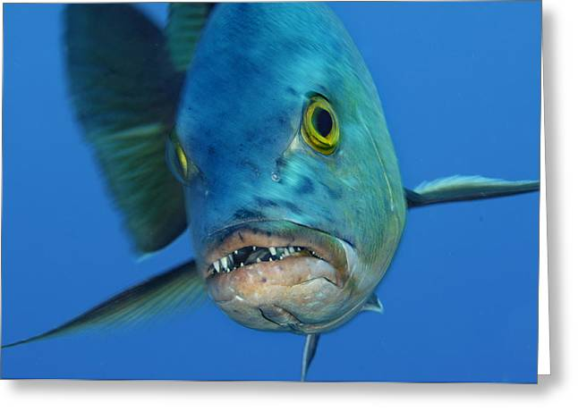 A Red Snapper In Kingman Reef Greeting Card