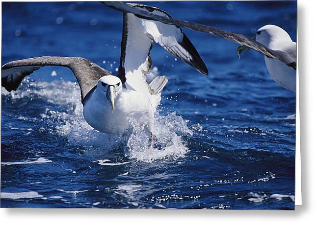 A Shy Albatross Running On Water Greeting Card by Jason Edwards